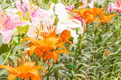 Asiatic Lily. Flower garden with colorful flowers blooming and beautiful Stock Image
