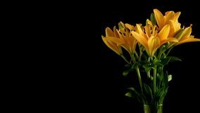 Asiatic Lily Flower Time-lapse stock video footage