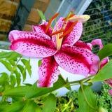 Macro lily royalty free stock photo