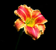 Asiatic Lily Red and Yellow Striped on Black Background Royalty Free Stock Photos