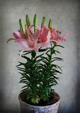 Asiatic Lily. Still Life Royalty Free Stock Photos