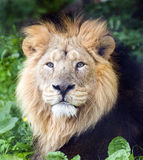 Asiatic Lion Royalty Free Stock Image