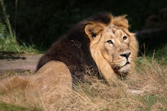 asiatic lion Arkivfoto