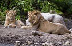 Asiatic lion. Couple relaxing in Sasan gir national park of india Royalty Free Stock Photo
