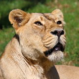 Asiatic Lion. (Panthera leo persica), portrait Stock Photography