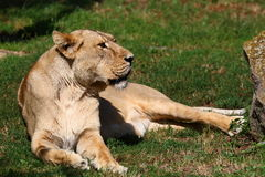Asiatic Lion. (Panthera leo persica), lying in the grass Stock Photo