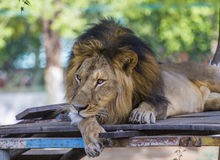 asiatic lion Royaltyfria Bilder
