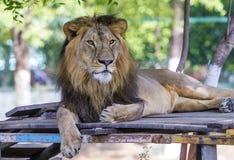 asiatic lion Royaltyfria Foton