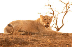 Asiatic lion. This is a subadult lion shot in Gir national park of Gujrat state of India Stock Photo