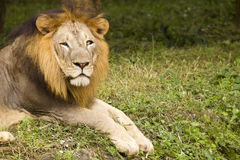 Asiatic lion close up Stock Photography
