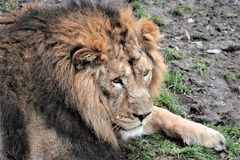 Asiatic lion close up rare and endagered Stock Photos