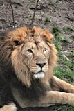 lion - Asiatic lion close up rare and endagered Royalty Free Stock Images