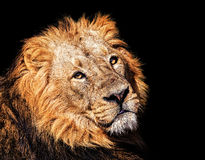 The Asiatic lion Royalty Free Stock Images