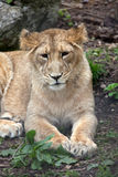 Asiatic Lion Cub Stock Photography