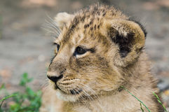 Asiatic lion cub Royalty Free Stock Photography