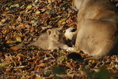 Asiatic Lion Cub - Panthera leo persica Royalty Free Stock Photos