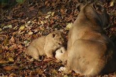 Asiatic Lion Cub - Panthera leo persica Royalty Free Stock Photos