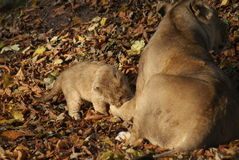 Asiatic Lion Cub - Panthera leo persica Royalty Free Stock Photo