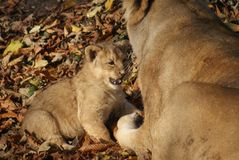Asiatic Lion Cub - Panthera leo persica Stock Images
