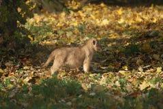 Asiatic Lion Cub - Panthera leo persica Royalty Free Stock Image