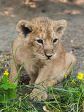 Asiatic lion cub Royalty Free Stock Image
