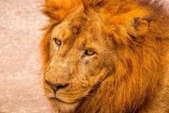 Asiatic lion with fearless look stock images