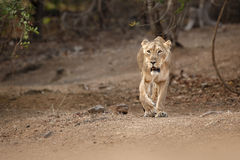 Asiatic lion female in the nature habitat in Gir national park in India. /lioness is walking towards photographer, panthera leo persica, indian wildlife, gir Stock Photo