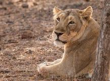 Asiatic lion female Stock Image