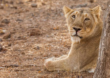 Asiatic lion female Stock Photography