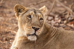 Asiatic lion female Royalty Free Stock Photo