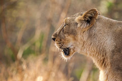 Asiatic lion female Royalty Free Stock Image