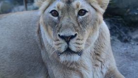 Asiatic lion, female stock video footage