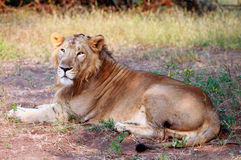 Asiatic Lion at Gir Forest national Park. An asiatic lion sitting in the shade at the Gir forest, taken during a safari ride stock photography
