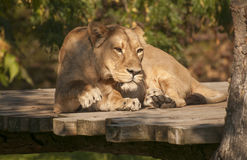 Asiatic lion Stock Photo