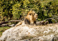 Asiatic Lion, Jerusalem Biblical Zoo in Israel Royalty Free Stock Images