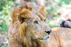 Asiatic Lion. Royalty Free Stock Photos