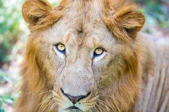 Asiatic Lion. Stock Photos
