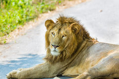 Asiatic Lion. Royalty Free Stock Image