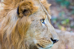 Asiatic Lion. Stock Photo