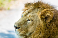 Asiatic Lion. Stock Image
