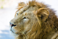 Asiatic Lion. Stock Photography