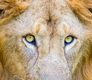 Asiatic Lion. Royalty Free Stock Photography