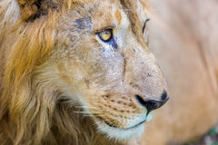 Asiatic Lion. Royalty Free Stock Images