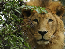 Asiatic Lion  ( Panthera leo persica ) Stock Images