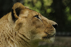 Asiatic Lion  ( Panthera leo persica ) Royalty Free Stock Photo