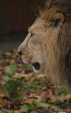 Asiatic Lion - Panthera leo persica Royalty Free Stock Photo