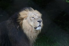 Asiatic Lion - Panthera leo persica Royalty Free Stock Photos