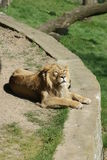 Asiatic Lion - Panthera leo persica Stock Photography