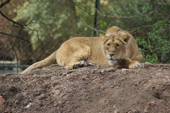 Asiatic Lion - Panthera leo persica Royalty Free Stock Images