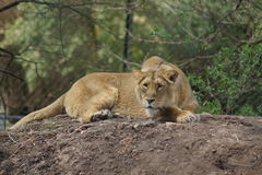 Asiatic Lion - Panthera leo persica Stock Images